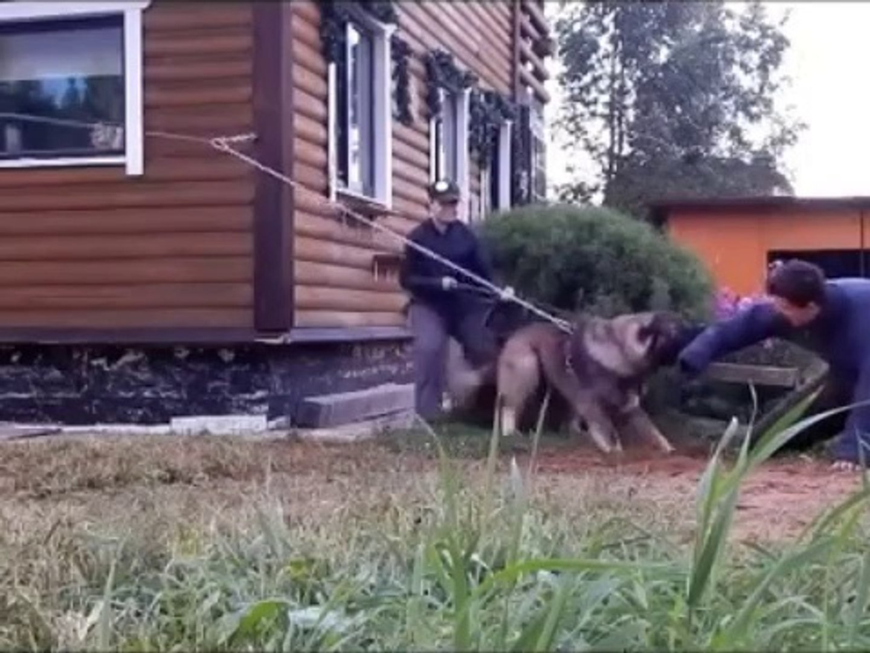 KAFKAS COBAN  KOPEGiNiN O CESUR ANLARI - CAUCASiAN SHEPHERD DOG