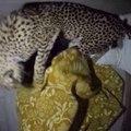 Il dort avec son guépard dans le lit... Gros chat