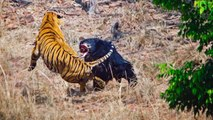 Une lutte acharnée entre une ourse et un tigre dans une réserve naturelle