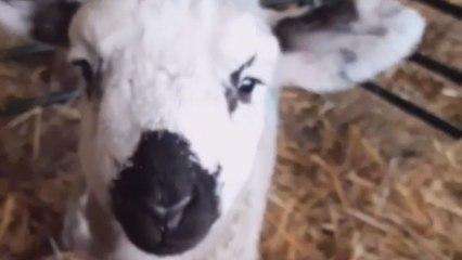 Cute Sheep is very cute