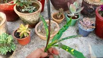 How to Grow Croton From Cuttings ( FAST & EASY )