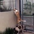 Curieux ce chien se dresse sur son pote pour regarder par dessus la barrière du jardin !