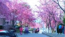 Chine : les cerisiers en fleurs attirent les curieux - 18/03/2018