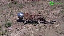 Ce jaguar se retrouve la tête coincée dans un pot en métal.