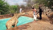 Quand une girafe se rafraichit dans une piscine d'un lodge