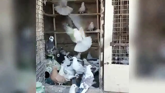 best high flying pigeon big loft cages & pigeons daley ivity