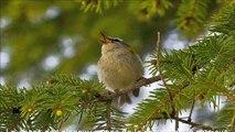 Le chant des oiseaux - sons de la nature de la musique pour la méditation - gazouillis des oiseaux - 30 minutes