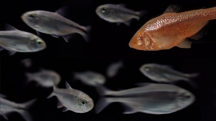 Mexico's Blind Cavefish: Evolution in Action