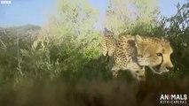 Dans la peau dun guépard qui chasse - Caméra embarquée sur le dos du félin