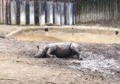 Cincinnati Zoo's Black Rhino Calf Rolls in the Mud