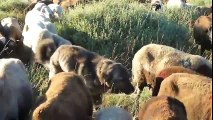 Confus ce chien prend des moutons pour des chiennes