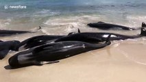 More than one hundred whales die in mass stranding in Western Australia coast