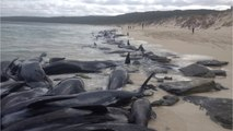 More Than 140 Whales Are Dead After Mass Stranding in Australia