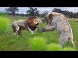 Amazing Fight Between The Two Biggest Animals Lion vs Bear