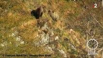 Deux ours réintroduits dans les Pyrénées