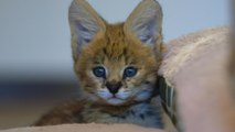 The Serval Kitten Therapist