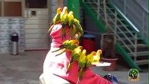 Perroquets! C'est marrant des perroquets! Perroquets drôles!