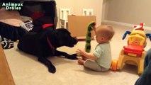 Bébés mignons jouant avec Chiens Labrador - Chiens Amour Bébés Compilation [HD VIDEO]