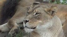 Big Cats à San Diego Safari Park. Abonnez-vous pour des vidéos de chats drôles!