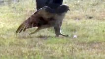Incredible Moments: Eagle Attacks Leopard