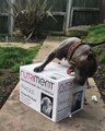 Un Staffordshire Bull Terrier ouvre son colis
