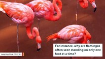 Why Flamingos Stand On One Foot
