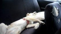 Böyle keyif görülmedi... Sevimli köpek, otomobil koltuğunda özel yastığı ile böyle keyif yapıyor