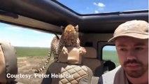 Quand un guépard sauvage s'incruste dans la voiture d'un  touriste en plein safari