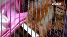 Le Refuge de l'Ecureuil Roux à la rescousse des petits rongeurs