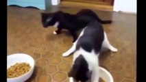 Funny Cat Fails Try not to Laugh 2016 Best Funny Cats videos compilation try not to laugh 2016.compressed