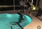 Gator Captured After Doing Pool Laps at Sarasota County Home