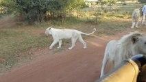Un lion blanc réussit à grimper dans un minibus de touristes ! Effrayant