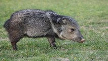 Javelinas & More of the Most Underrated Zoo Animals
