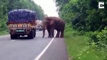 Quand un éléphant stoppe un camion pour voler des patates