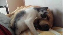 Morsures... d'un chaton sur ce gros chien qui dort !! Trop mignon