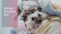 Será que ter um porco-espinho de estimação vai virar moda?