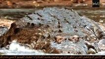 تمساح يقتـــل لبوة لكن مافعلته الاسود لايصدق !! لا يفوتك