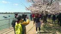 Les célèbres cerisiers de Washington sont en fleurs