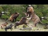 Fearless  Warthog Fight Ambush Lion & Cheetah