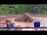 Winggo Seekor Gajah Terjebak Di Lumpur Dalam -NET12