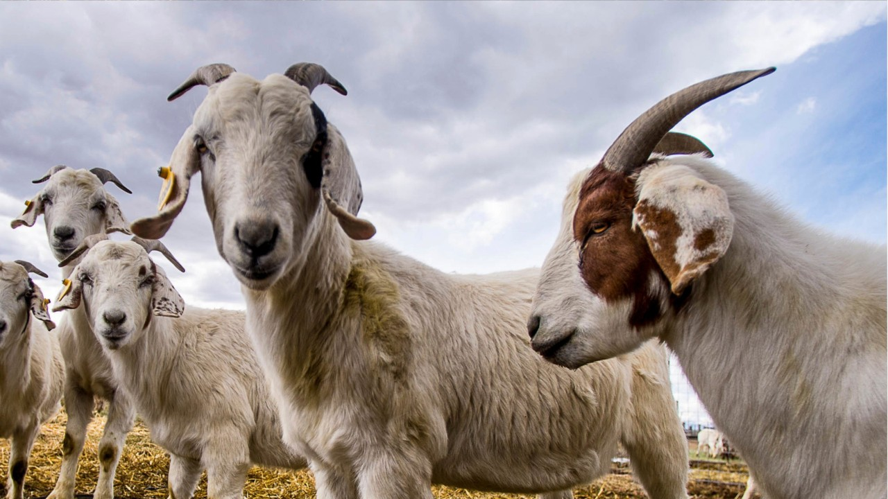 Goats Rescued After Being Stranded on Pennsylvania Bridge