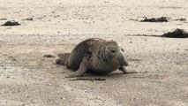 Un phoque échoué sur la plage.