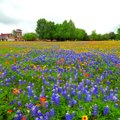 Field of Texas Bluebonnets and a Puppy