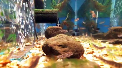 EPCAMR's Brook Trout Tank 4/11/18 Feeding Time