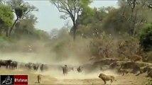 واجهة قطيع من 500 جاموس تأتي وجها لوجه مع الأسود