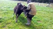 Cet homme n'aurait vraiment pas dû prendre un veau dans ses bras sous les yeux de sa mère !