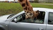 Une girafe brise la vitre d'une voiture
