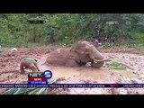 Seekor Gajah Terjebak Di Lumpur NET5