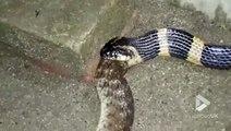 Cet énorme serpent en avale un autre en entier. Impressionnant et terrifiant