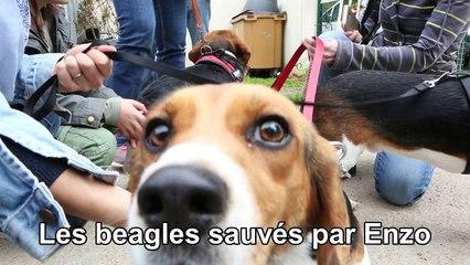 Retrouvailles des Beagles sauvés par Enzo au refuge de l'Angoumois